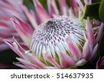 Protea The National Flower Of...