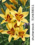"Small photo of ""Amicable blossoming in a garden!"". Plentifully blossoming yellow day lily. Flower vegetable background vertically. Hemerocallis. Xanthorrhoeaceae family."