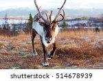 reindeer in its natural...   Shutterstock . vector #514678939