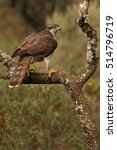 Small photo of Adult female of Northern goshawk. Accipiter gentilis