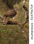 Small photo of Adult female of Northern goshawk. Accipiter gentilis