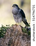 Small photo of Adult male of Northern goshawk. Accipiter gentilis