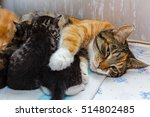 Stock photo cat nursing kittens ginger kitten with the cat the protection of animals homeless animals 514802485