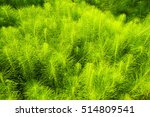 Bright Green Horsetail...
