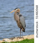 Great Blue Heron On The...