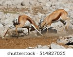 Two Male Springbok Antelopes ...
