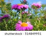 Chrysanthemums  Garden Flowers...