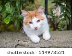 Orange And White Cat In The...