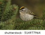 Golden-crowned Kinglet (Regulus satrapa) in spring