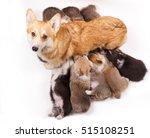 dog nursing puppies welsh corgi ... | Shutterstock . vector #515108251