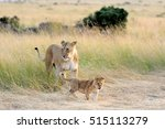 African Lion Cub   Panthera Le...