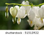 Beautiful white bleeding heart flowers. Macro with extremely shallow dof. - stock photo