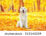Funny Labrador Retriever In...