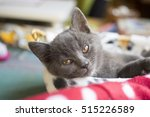 Stock photo sleepy gray cat 515226589