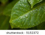 water drop on the leafs after... | Shutterstock . vector #5152372