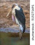 Marabou Stork  Leptoptilos...