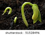 Green bean seedlings with water droplets in soil.  Macro with shallow dof. - stock photo