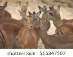 antelopes in the lake manyara... | Shutterstock . vector #515347507