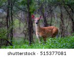 White Tailed Deer Fawn Standin...