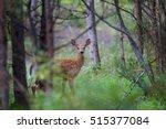 White Tailed Deer Fawn Walking...