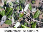 Small photo of Feijoa tree with fruit (Acca)