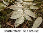 Small photo of raindrops on the leaves of the tree of acetic, Rhustyphina, macro