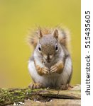 Small photo of American red squirrel in autumn light