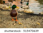 Mallard Duck On Shore