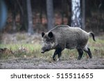 Running Wild Boar On A Grass O...