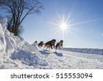 Dog Sledding Race  Quebec ...