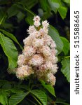 Small photo of Double flowered Horse Chestnut, Horsechestnut 'Baumannii' (Aesculus hippocastanum)