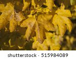 Small photo of Acer campestre