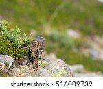 Small photo of Alpine accentor(Prunella collaris)