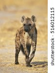 spotted hyena  crocuta cocuta ... | Shutterstock . vector #516012115