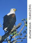 sea eagle perched in tree | Shutterstock . vector #516012541