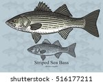 Striped Sea Bass, Striper. Vector illustration with refined details and optimized stroke that allows the image to be used in small sizes (in packaging design, decoration, educational graphics, etc.)