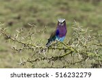 Small photo of Lilac-breasted roller (Coratias caudata) sitting on a branch, in Tarangire national park, Tanzania