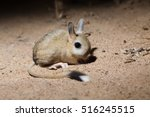 Small photo of Portrait of Small five-toed jerboa (Allactaga elater) in desert of southern Kazakhstan