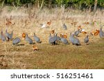 Flock Of Guinea Fowl Roaming...