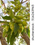 Small photo of Apple tree with abundant harvest of apples surrounded by leaves hanging on a branch