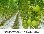 Rows Of Tomatoes Ripening In A...