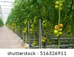 rows of tomatoes ripening in a... | Shutterstock . vector #516326911
