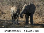 Two Juvenile Elephants Playing...