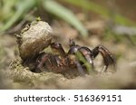 Small photo of Trapdoor spider (Nemesiidae) grass background. Liguria. Italy.