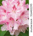 Pink Rhododendron Blossom Clos...