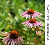 Flowers Pink Coneflower In The...