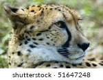 Head Portrait Of Cheetah...