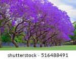Jacaranda Tree At Full Bloom A...