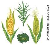 corn set. cobs  blossom branch... | Shutterstock .eps vector #516704125