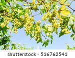 Small photo of Photo picture of acinus unripe grape fresh green bunches